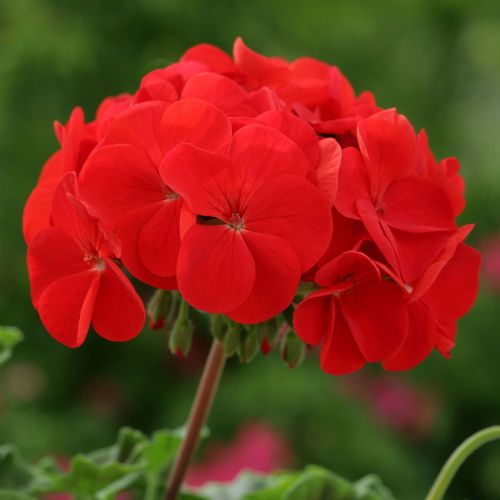 Geranium Horizon (84) Red